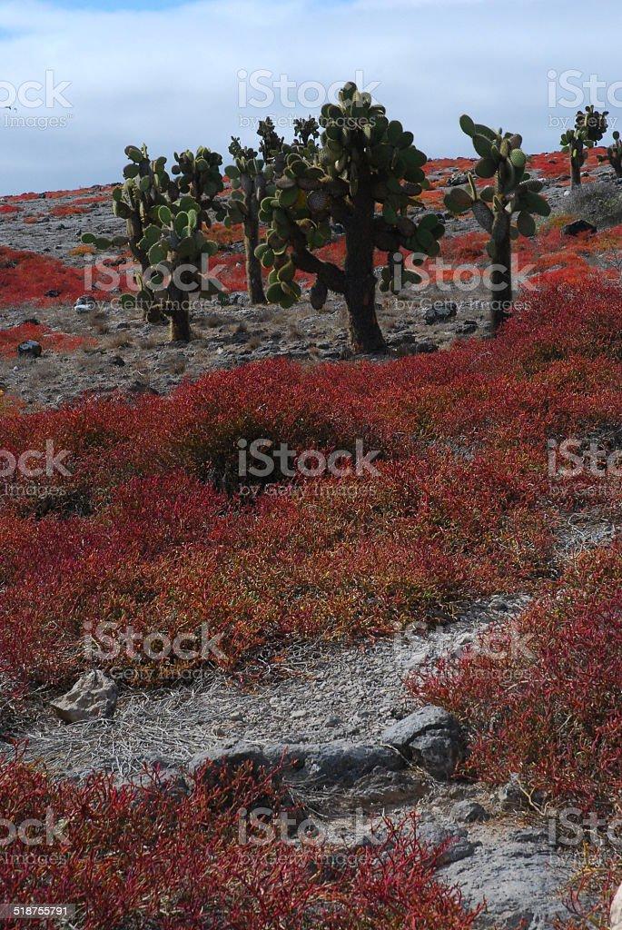 Cactus Trees on South Plaza Island, Galapagos royalty-free stock photo