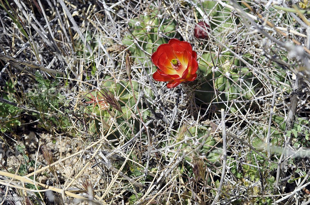 Cactus with a Single, Red Flower royalty-free stock photo