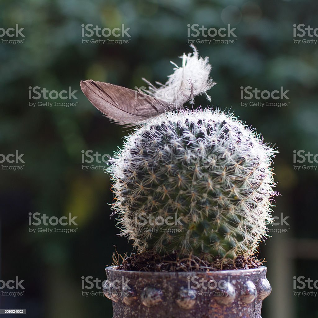Cactus with feather together stock photo
