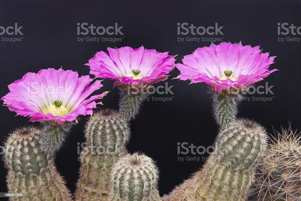 Cactus with Flower, Petal, Pistil and Stamen under soft sunlight. royalty-free stock photo