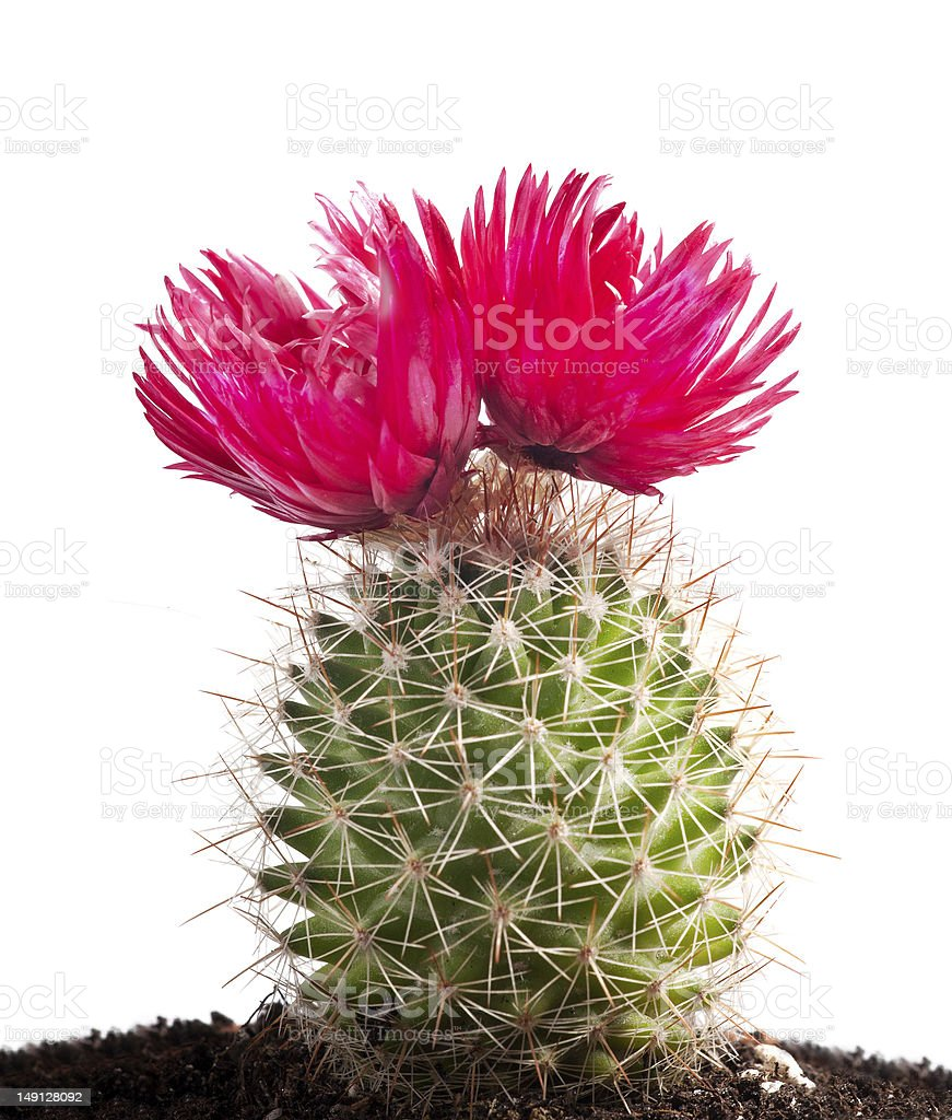 cactus with large red flowers on white stock photo