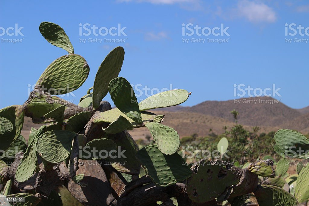 Cactus with mountains in background stock photo