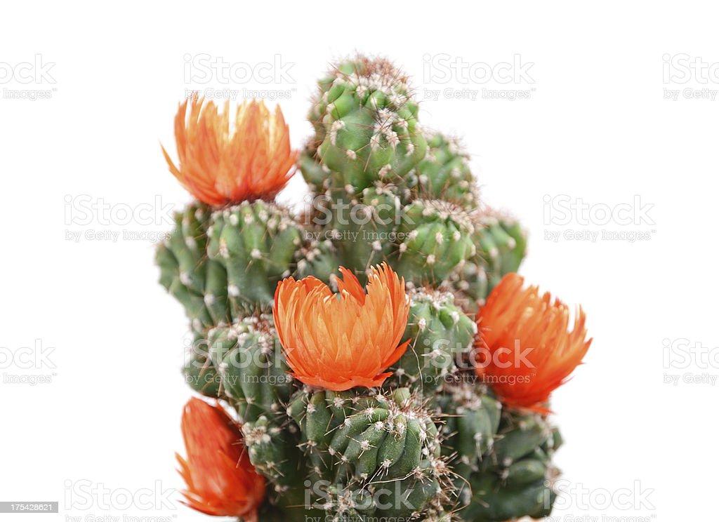 Cactus with orange blossom on white background stock photo