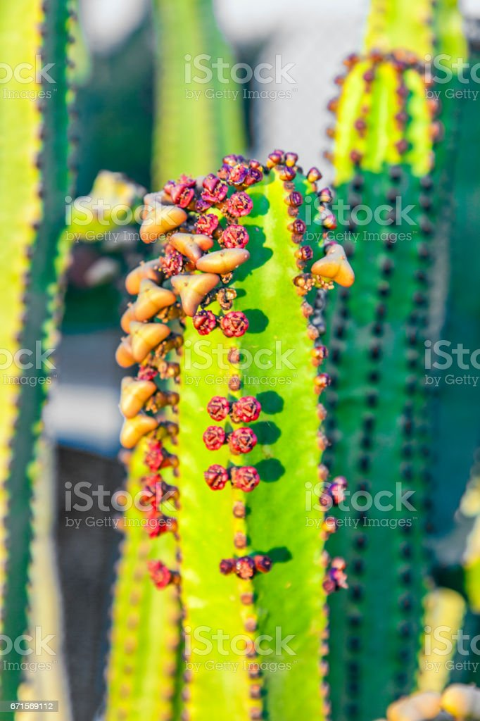 cactus with prickly pears  fruits stock photo