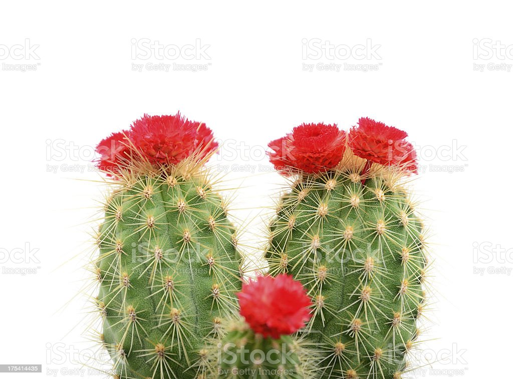 Cactus with red blossom on white background stock photo