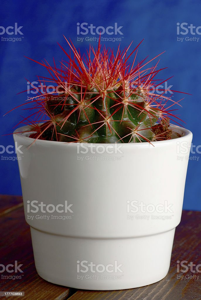 cactus with red thorns on blue background royalty-free stock photo