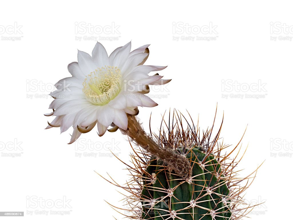 Cactus (Echinopsis leucantha) with white blossom, isolated stock photo