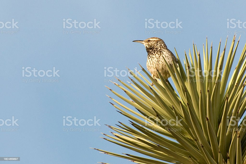 cactus wren, Campylorhynchus brunneicapillus, perched in Joshua Tree stock photo