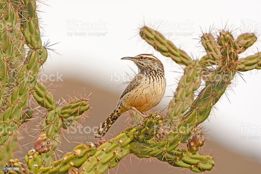 Cactus Wren on a Cholla in the Desert stock photo