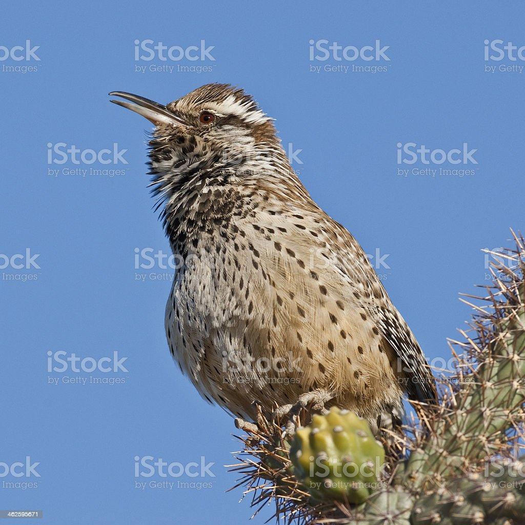 Cactus Wren Singing royalty-free stock photo