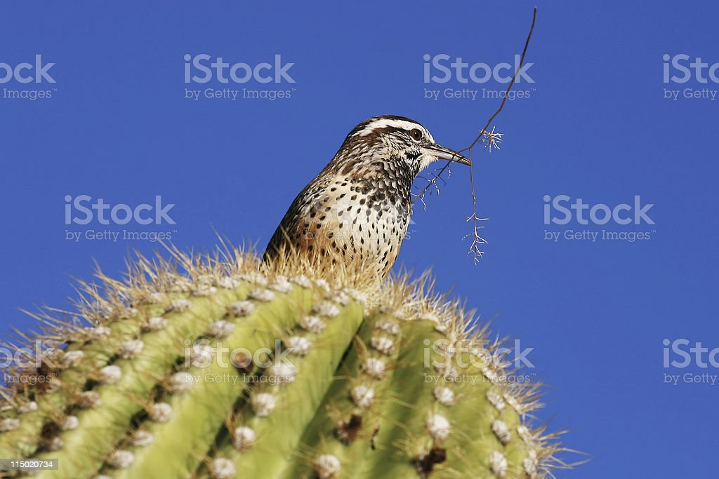 Cactus Wren With Twig stock photo