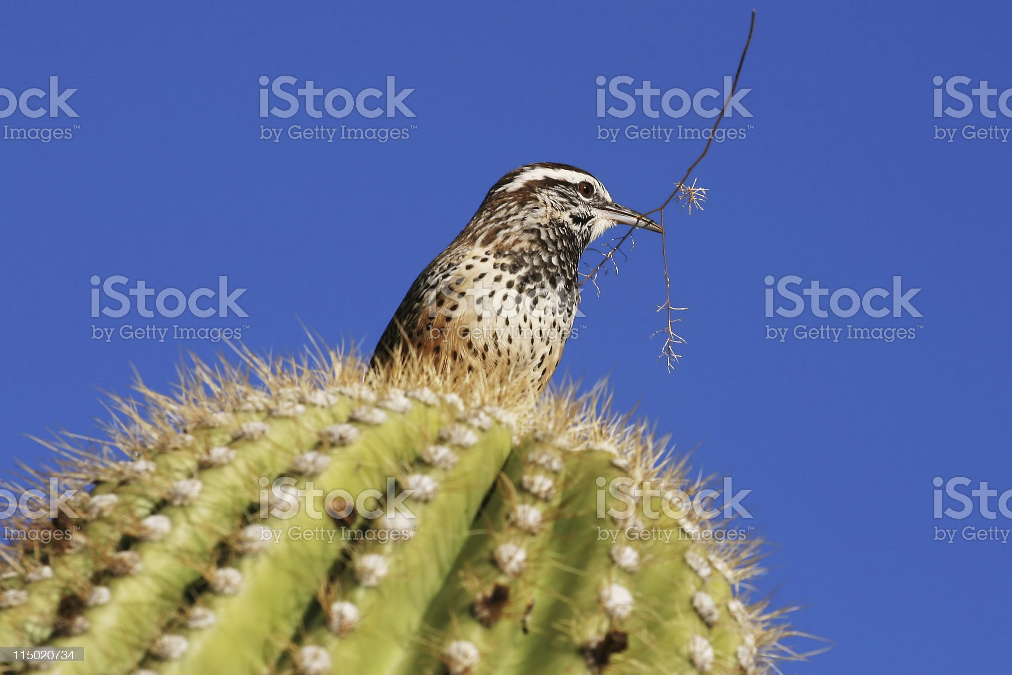 Cactus Wren With Twig royalty-free stock photo