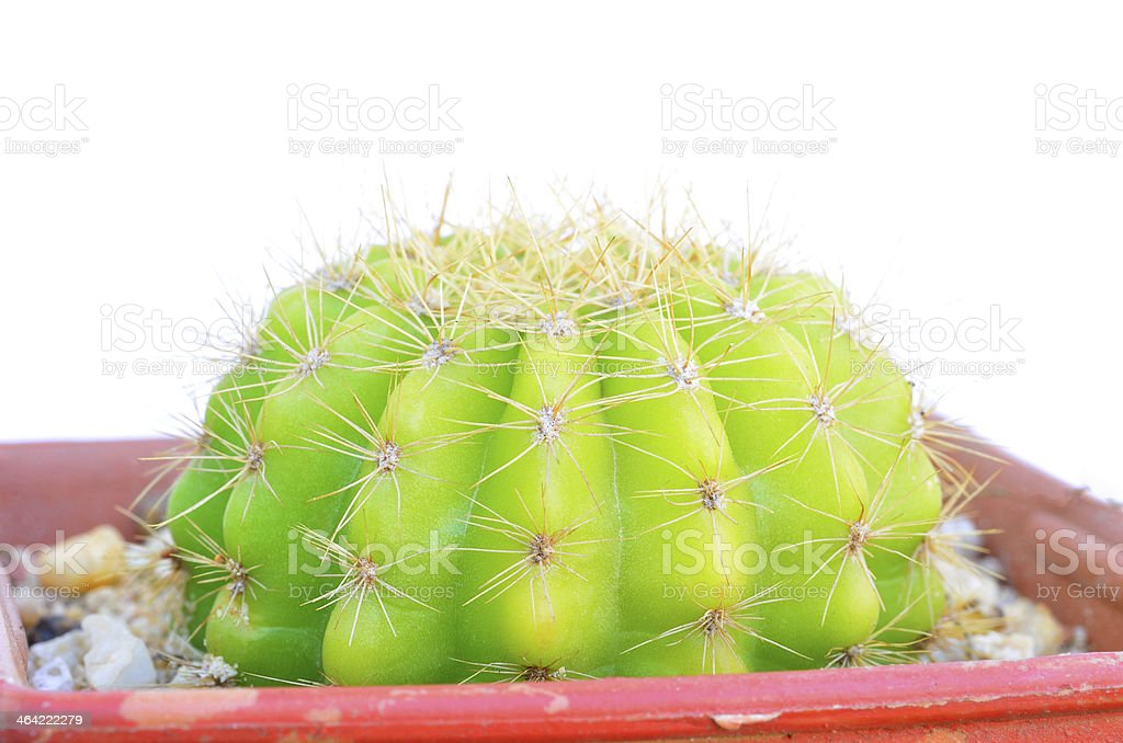 cactuses on white background royalty-free stock photo
