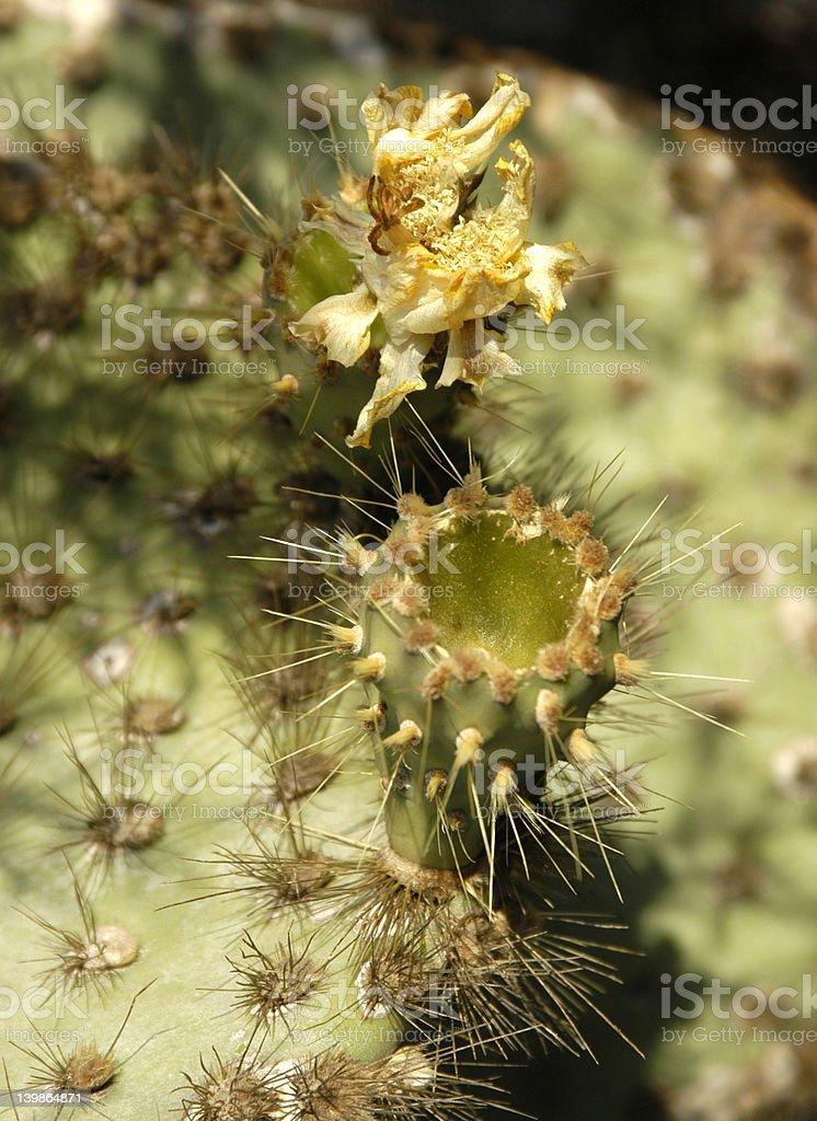 cactusflower photo libre de droits