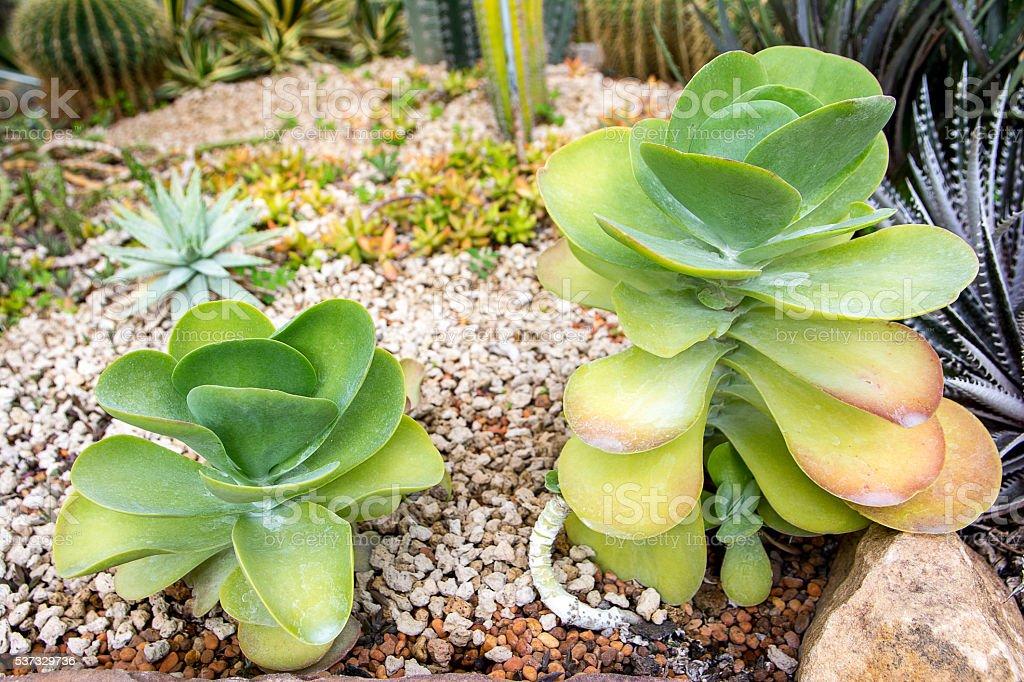 Cactus,Paddle plant,Crassulaceae Kalanchoe thyrsiflora,Desert ca stock photo