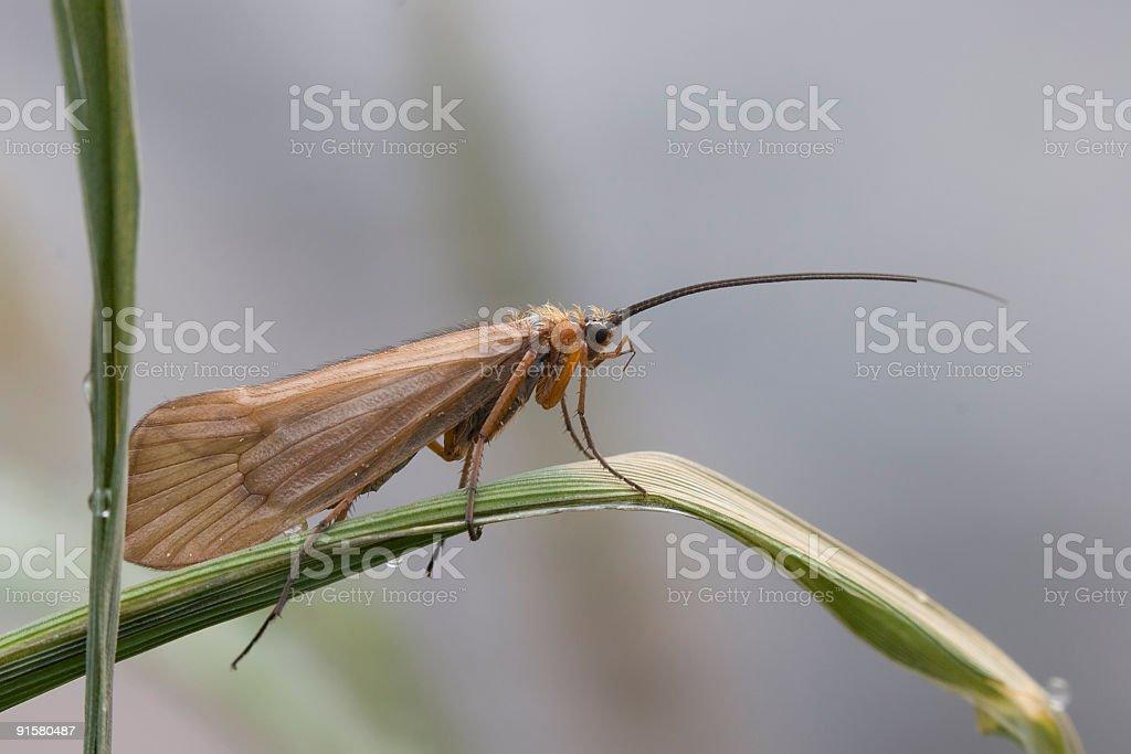 Caddisfly (Trichoptera) royalty-free stock photo