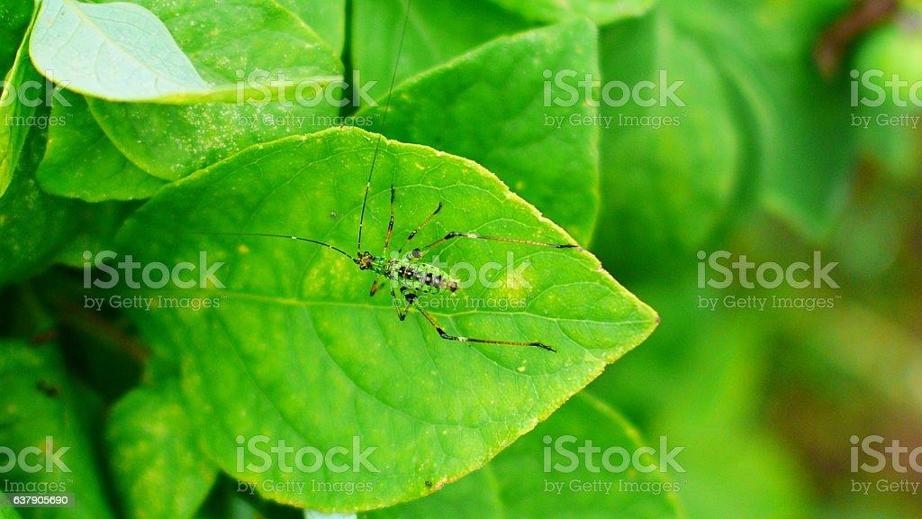 Caelifera on a leaf stock photo