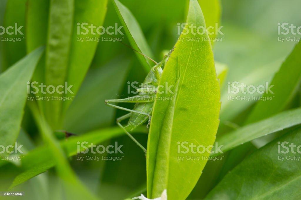 Caelifera stock photo