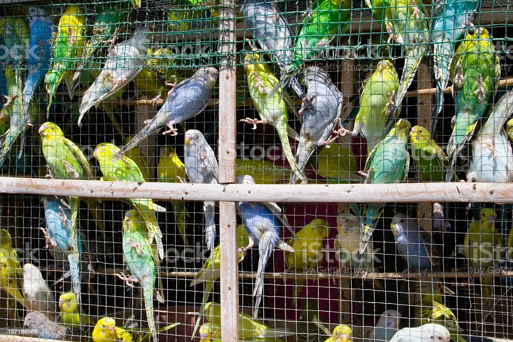 A cage overrun with blue and yellow birds stock photo