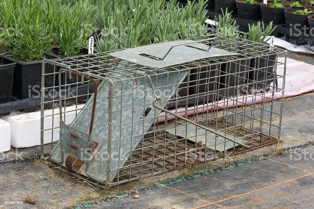 Cage type humane rat trap stock photo