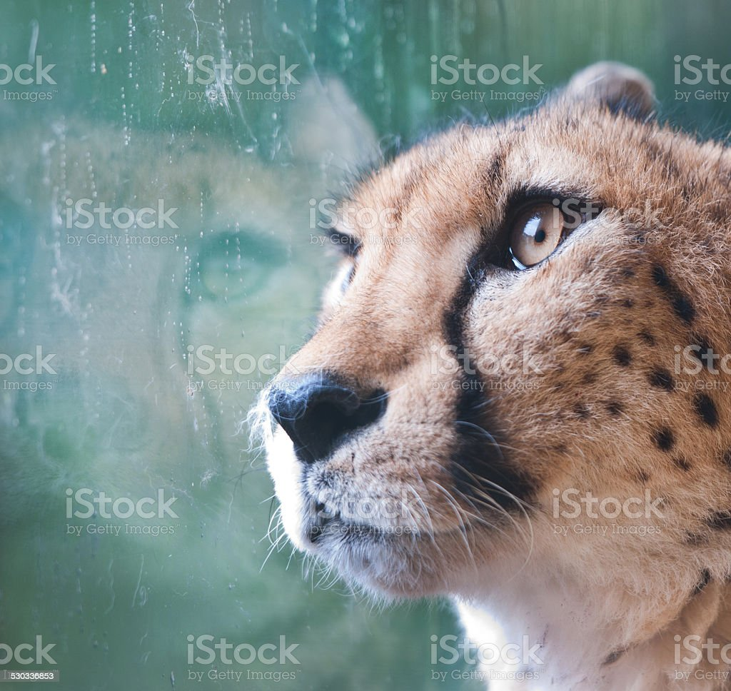 caged cheetah looking through a window stock photo
