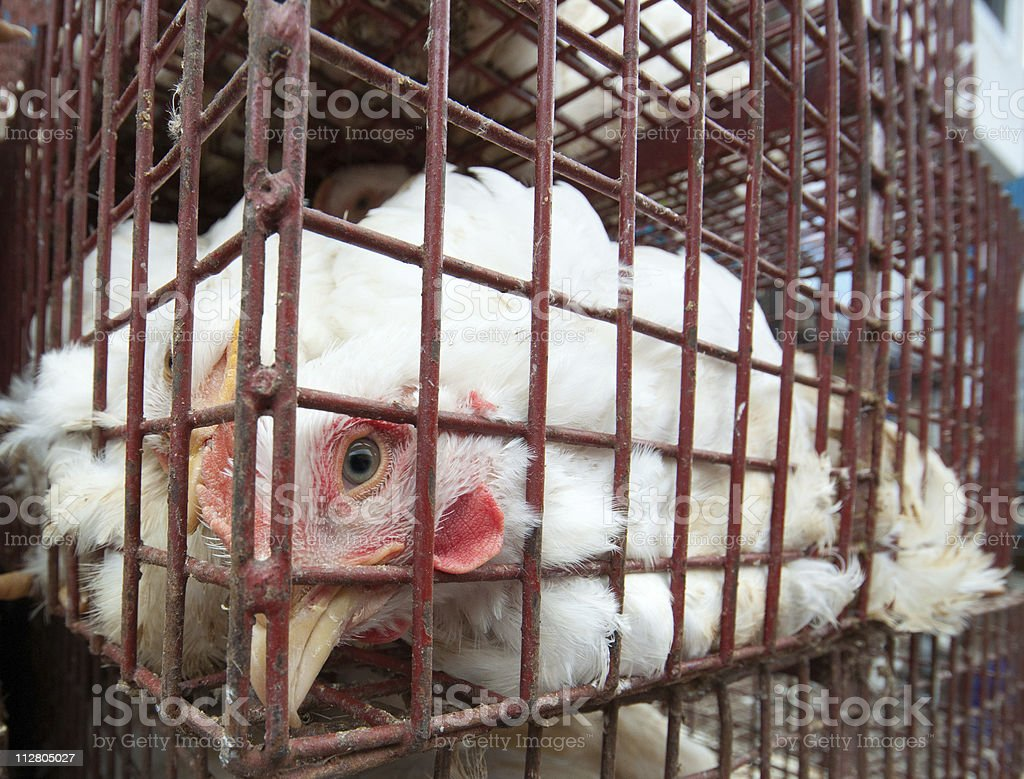Caged chicken stock photo