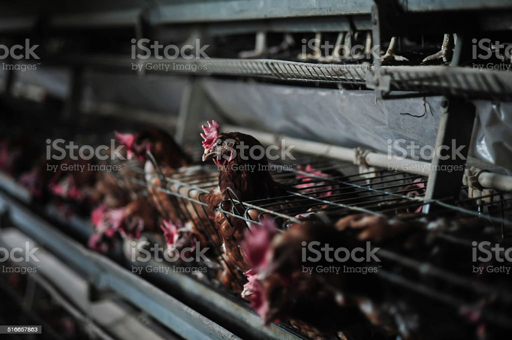 Caged Chicken stock photo