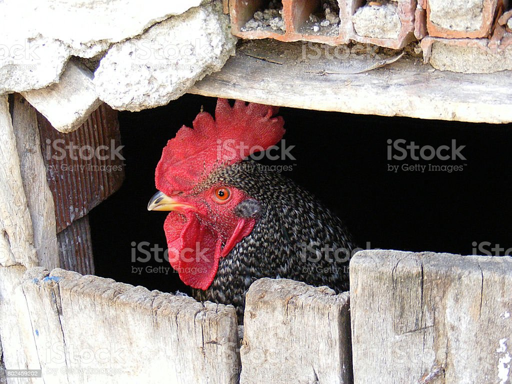 Caged confused cock, wants to go out but locked, stock photo