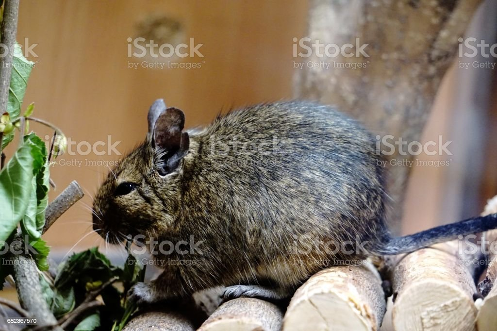 Caged Degu eating leafs - close-up stock photo