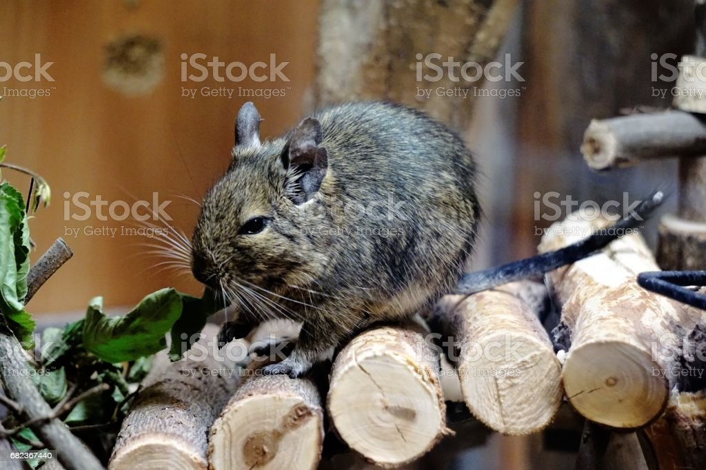 Caged Degu eating leafs stock photo