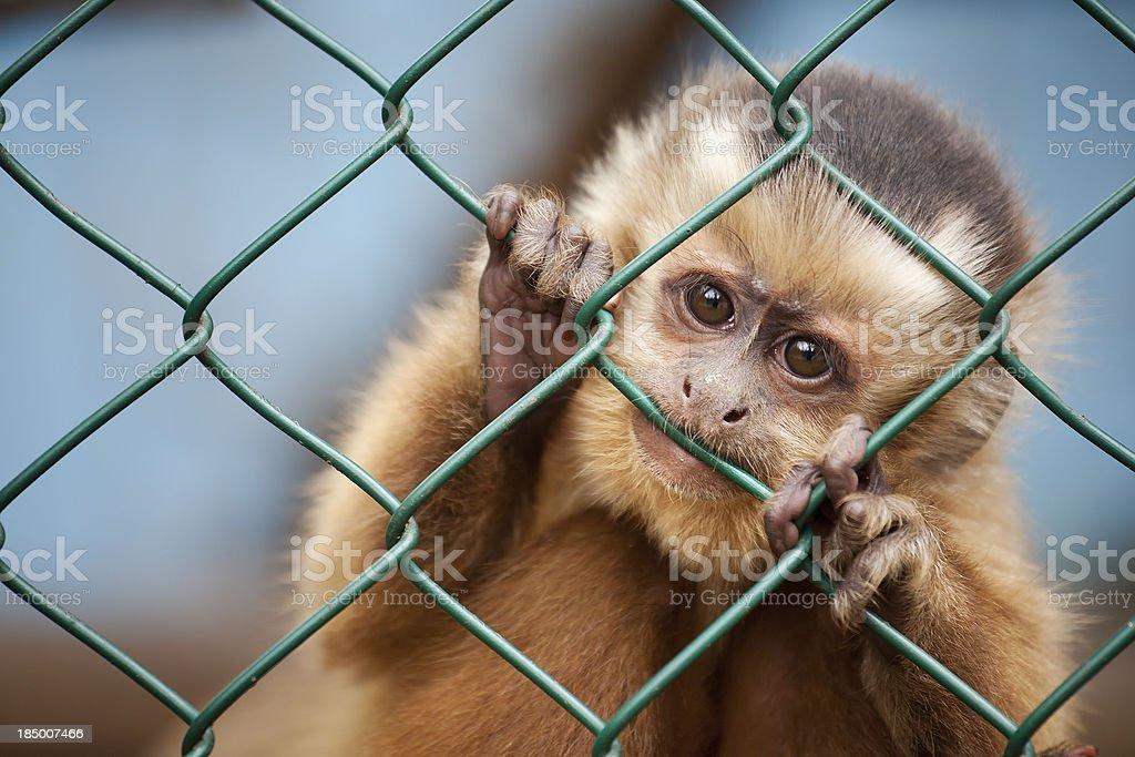 Caged monkey stock photo