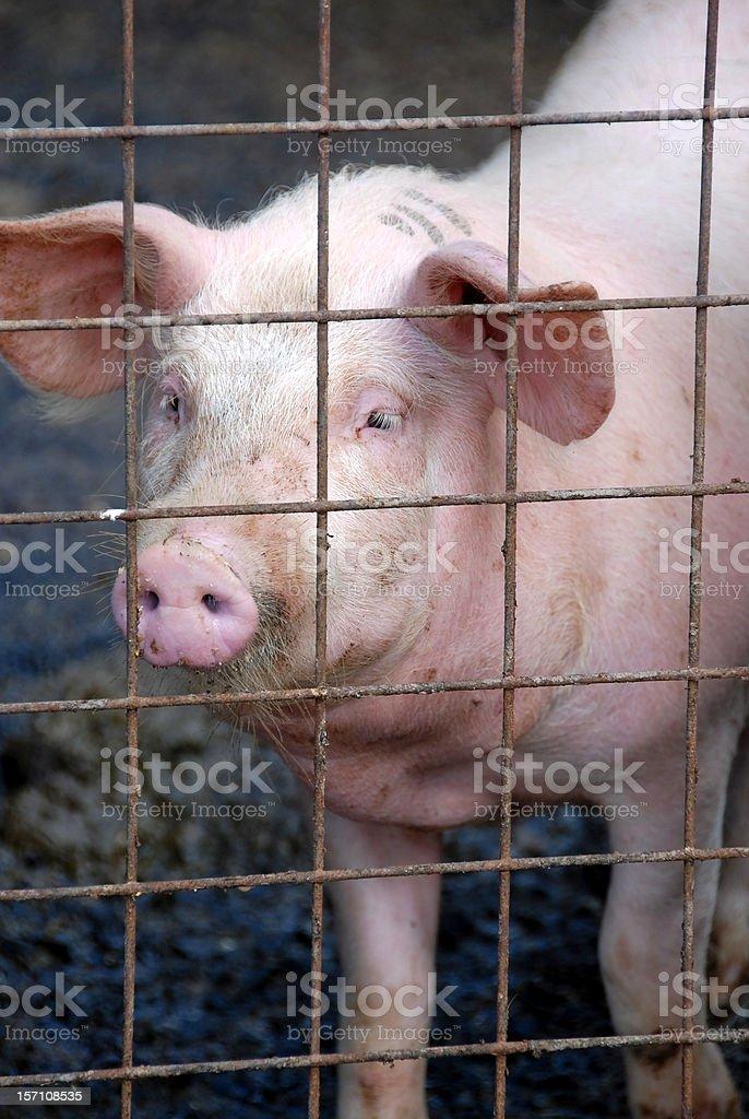 Cerdo en jaula foto de stock libre de derechos