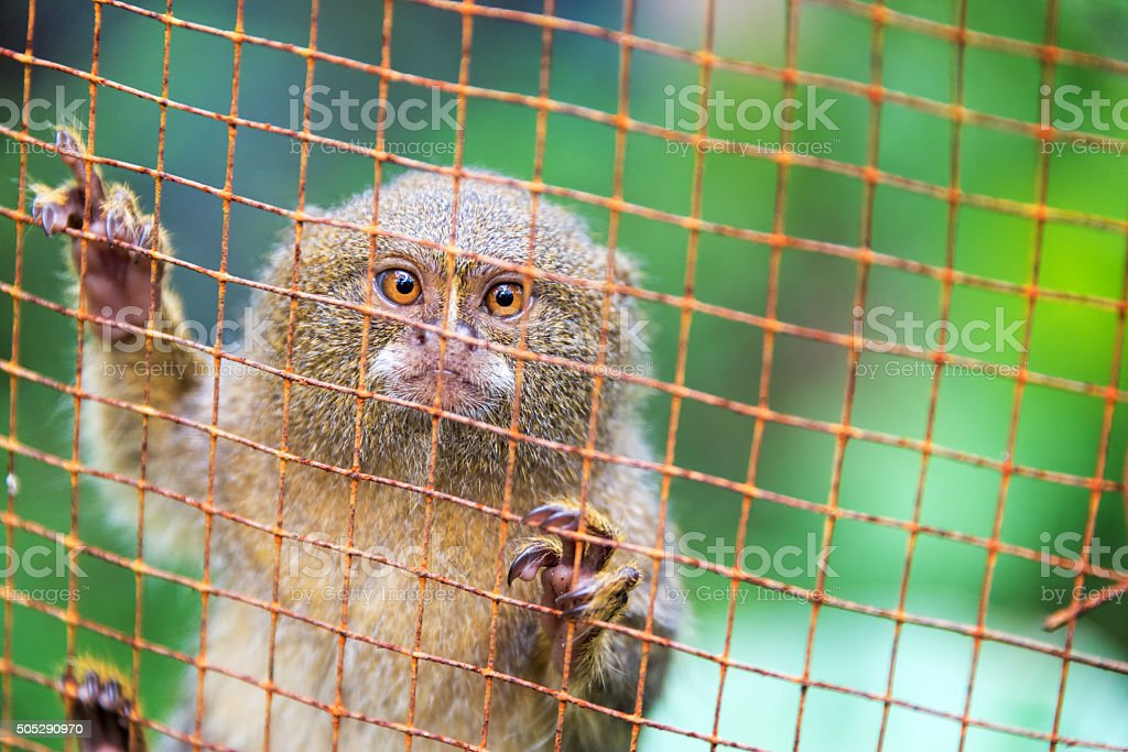 Caged Pygmy Monkey stock photo