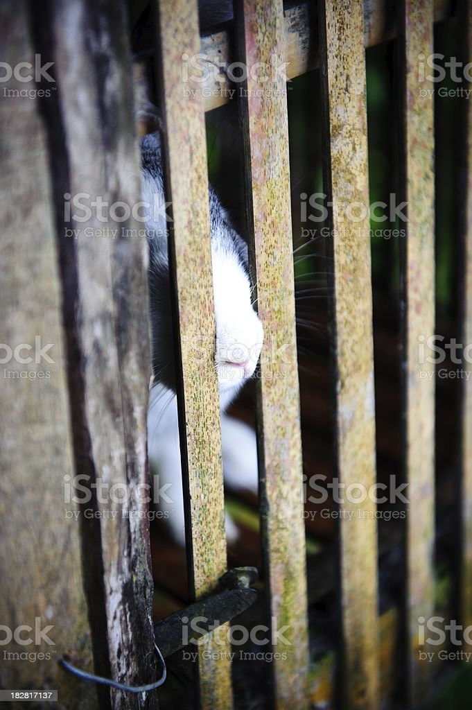 Caged rabbit with furry nose poking through wooden bars stock photo
