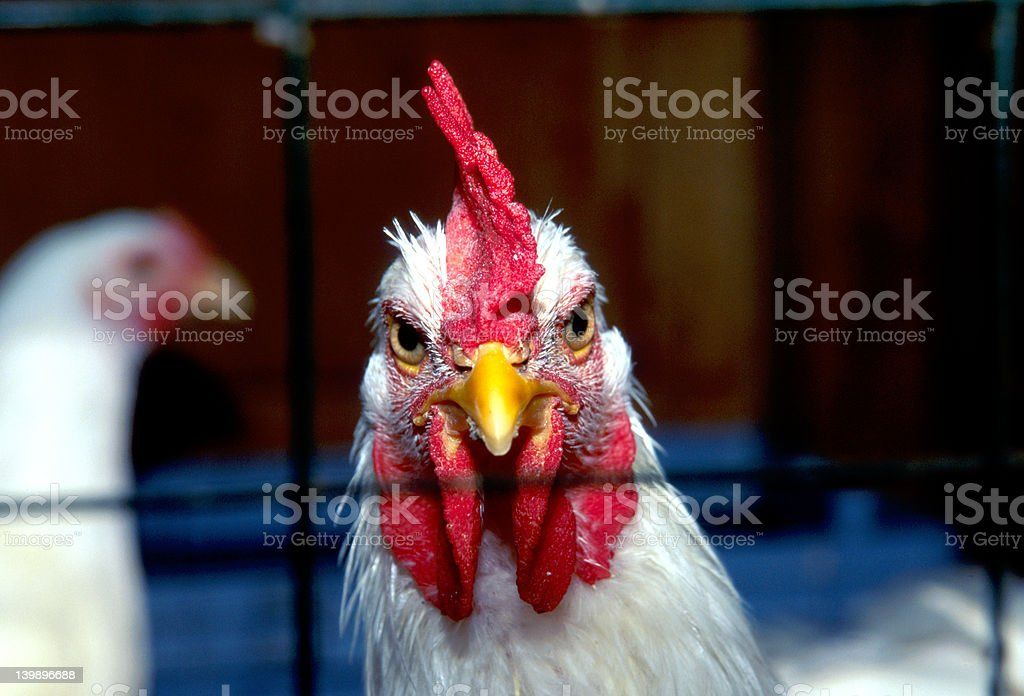 Caged Rooster royalty-free stock photo