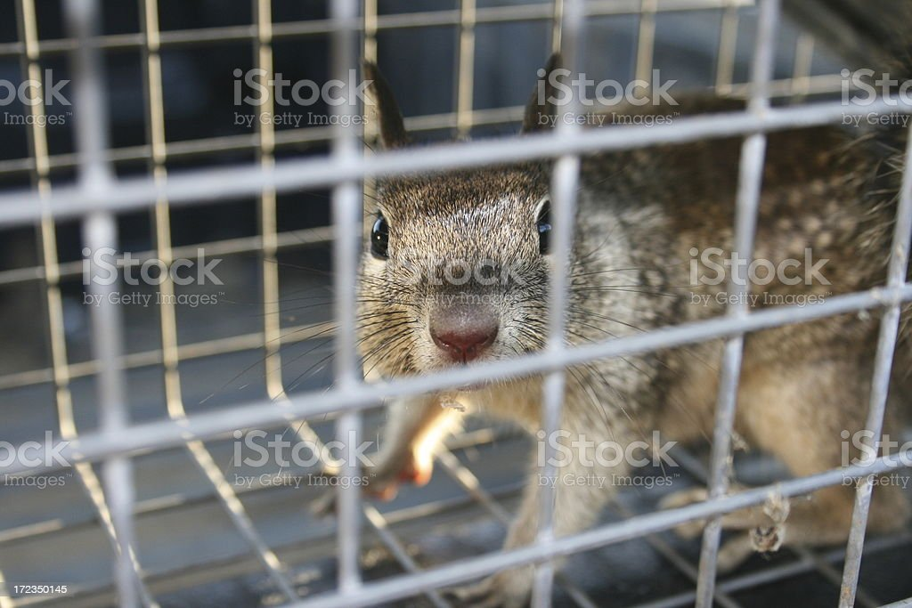 Caged Squirrel stock photo
