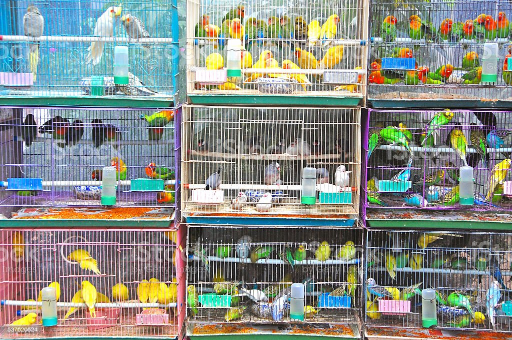 Cages with many multicolored budgies stock photo