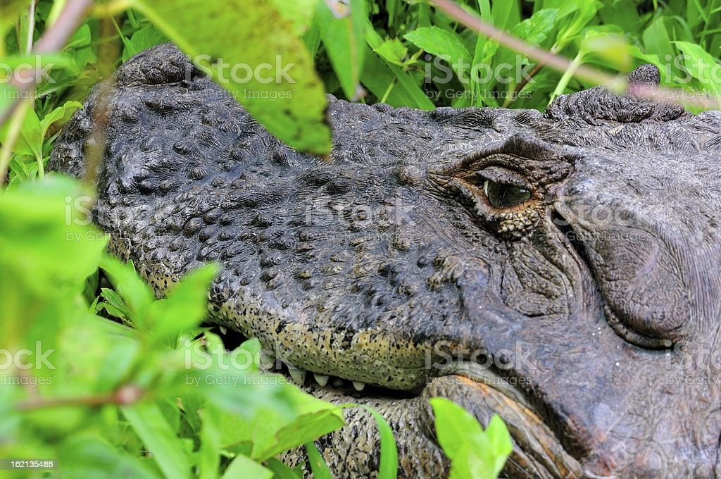 Caiman - detail of head royalty-free stock photo