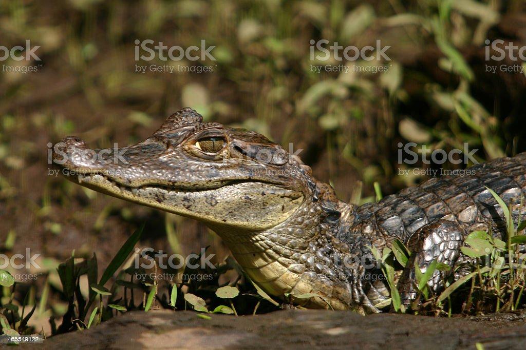 Caiman Gator3 stock photo