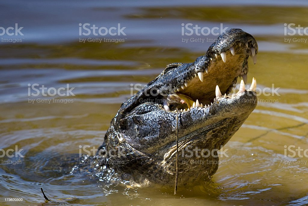 Caiman royalty-free stock photo