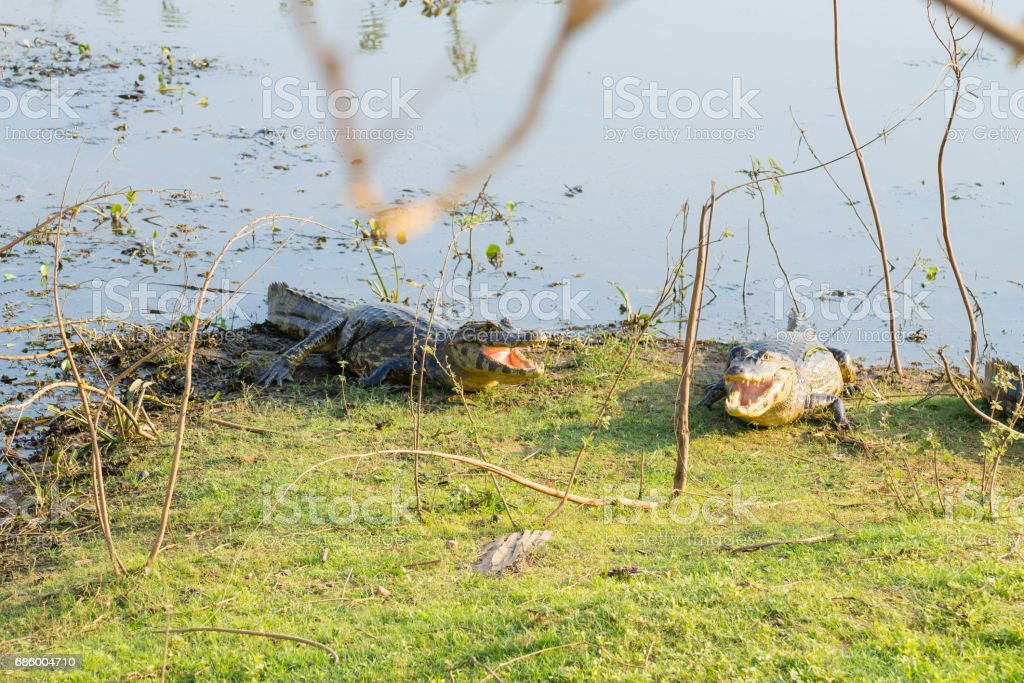 caiman which heats up in the morning sun. stock photo