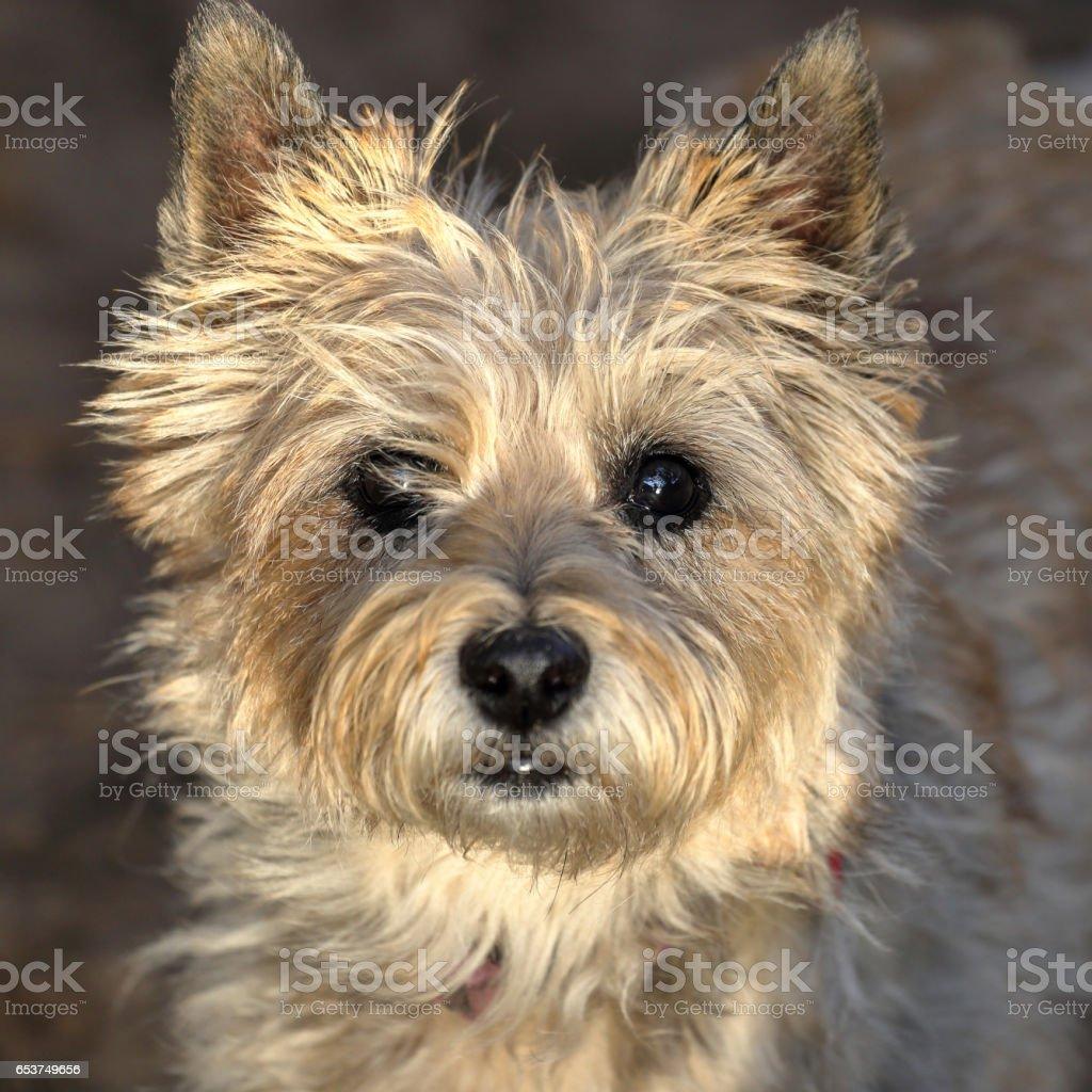 Cairn terrier headshot stock photo
