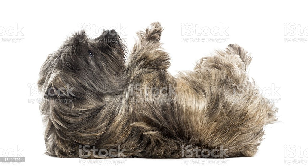 Cairn Terrier lying on its back, submissive stock photo