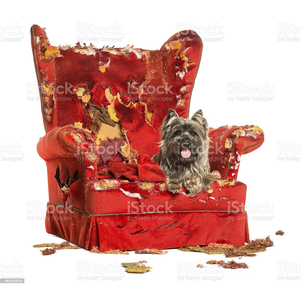 Cairn Terrier panting, lying on a destroyed armchair, isolated stock photo