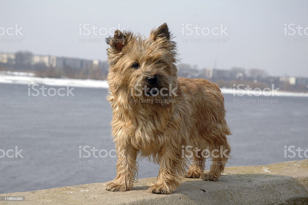 Cairn terrier stock photo