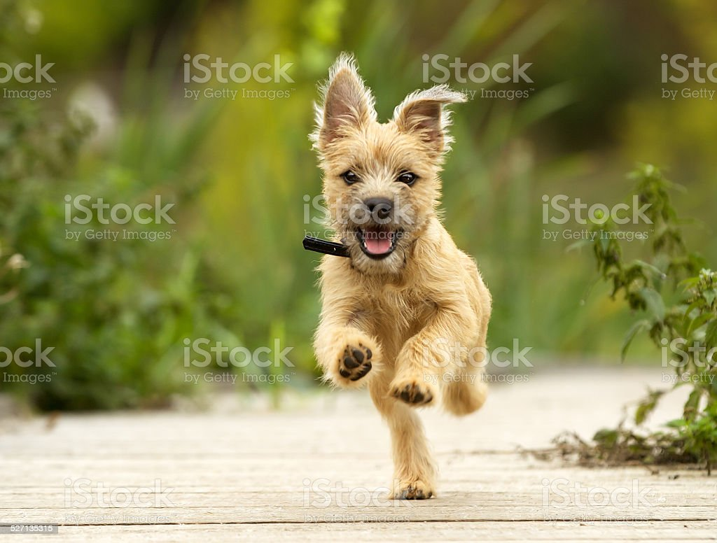 Cairn Terrier Puppy stock photo