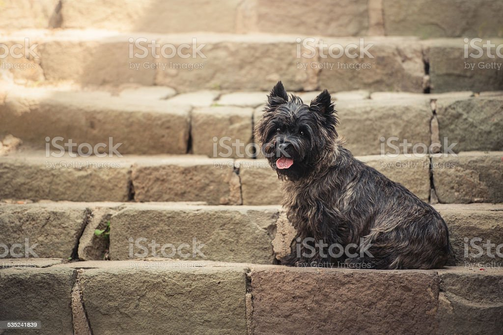 Cairn Terrier sitting at old staircase in Szentendre stock photo
