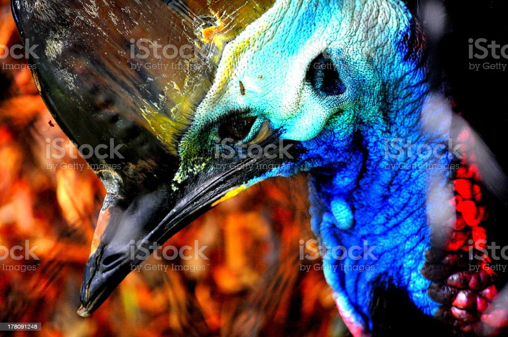 Cairns Cassowary royalty-free stock photo