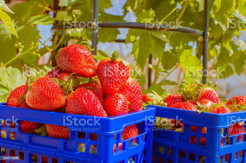 Caja de platico con fresas photo libre de droits