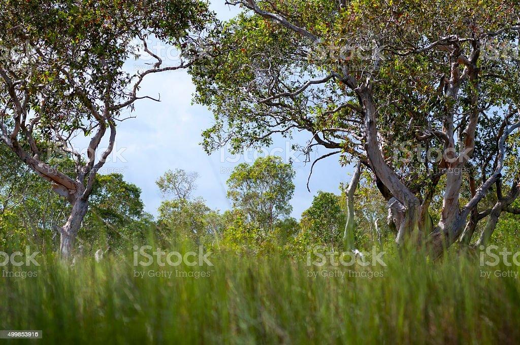 Cajeput tree royalty-free stock photo